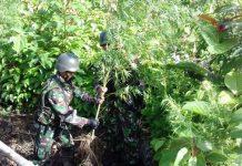 LADANG GANJA: Satgas Pamtas Republik Indonesia–Papua Nugini Yonif Mekanis 512/QY Pos Kalimao menemukan ladang ganja di sekitar wilayah perbatasan RI-PN. | Foto: Ist