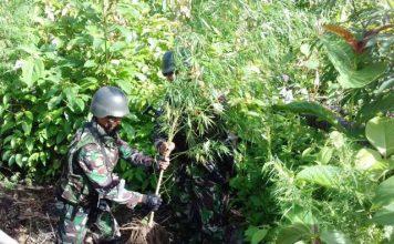 LADANG GANJA: Satgas Pamtas Republik Indonesia–Papua Nugini Yonif Mekanis 512/QY Pos Kalimao menemukan ladang ganja di sekitar wilayah perbatasan RI-PN.   Foto: Ist