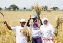 PANEN PADI: Cagub Khofifah Indar Parawansa saat panen padi bersama petani di Desa Magersari Tuban, Selasa (20/3). | Foto: Barometerjatim.com/ROY HASIBUAN