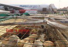JEMPUT DOMBA PESANAN: Malaysia kirim pesawat Air Bus 330-200F Maskargo untuk menjemput domba pesanannya melalui Bandara Juanda Surabaya di Sidoarjo, Rabu (1/8).