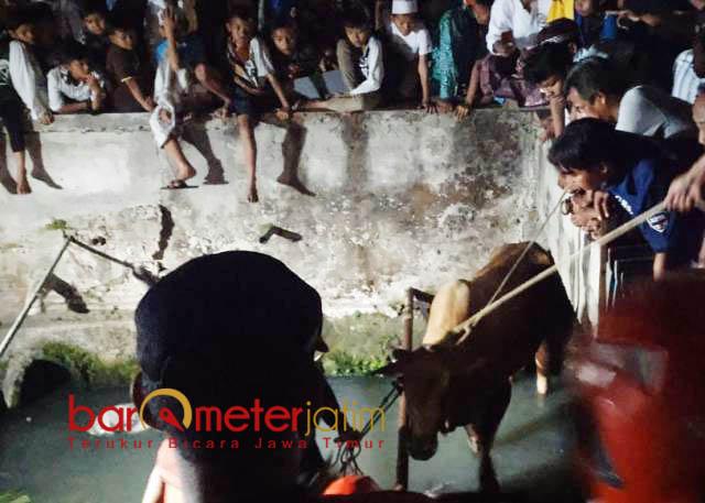 TERJUN KE SUNGAI: Sapi milik Hanafi terjun ke sungai gara-gara mercon. Hingga pukul 23.30 WIB petugas masih kesulitan mengevakuasi. | Foto: Barometerjatim.com/NANTHA LINTANG